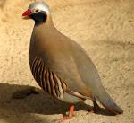 partridge color